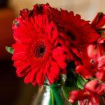 red gerber daisies